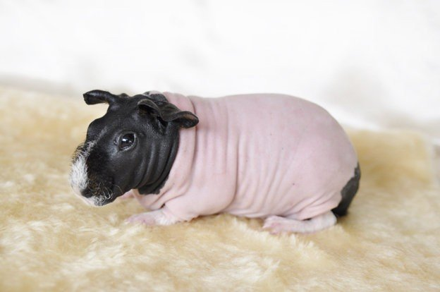 All About Skinny Pigs | Wide Open Pets