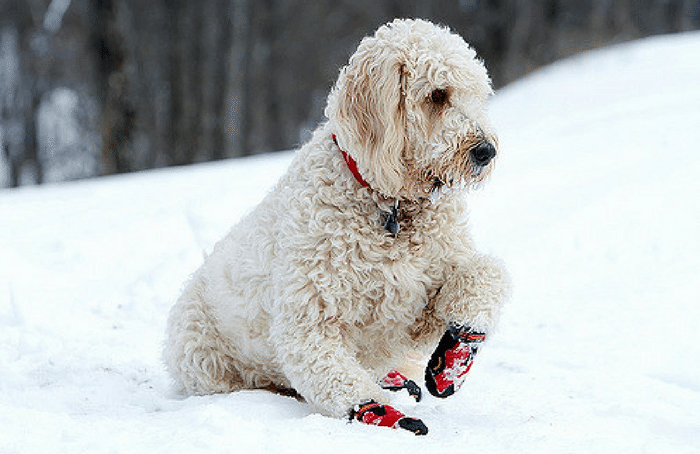 Labradoodle with booties in snow