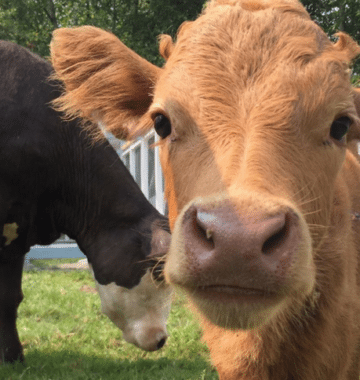 Two Therapy Cows