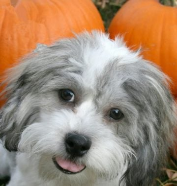 dog pumpkin