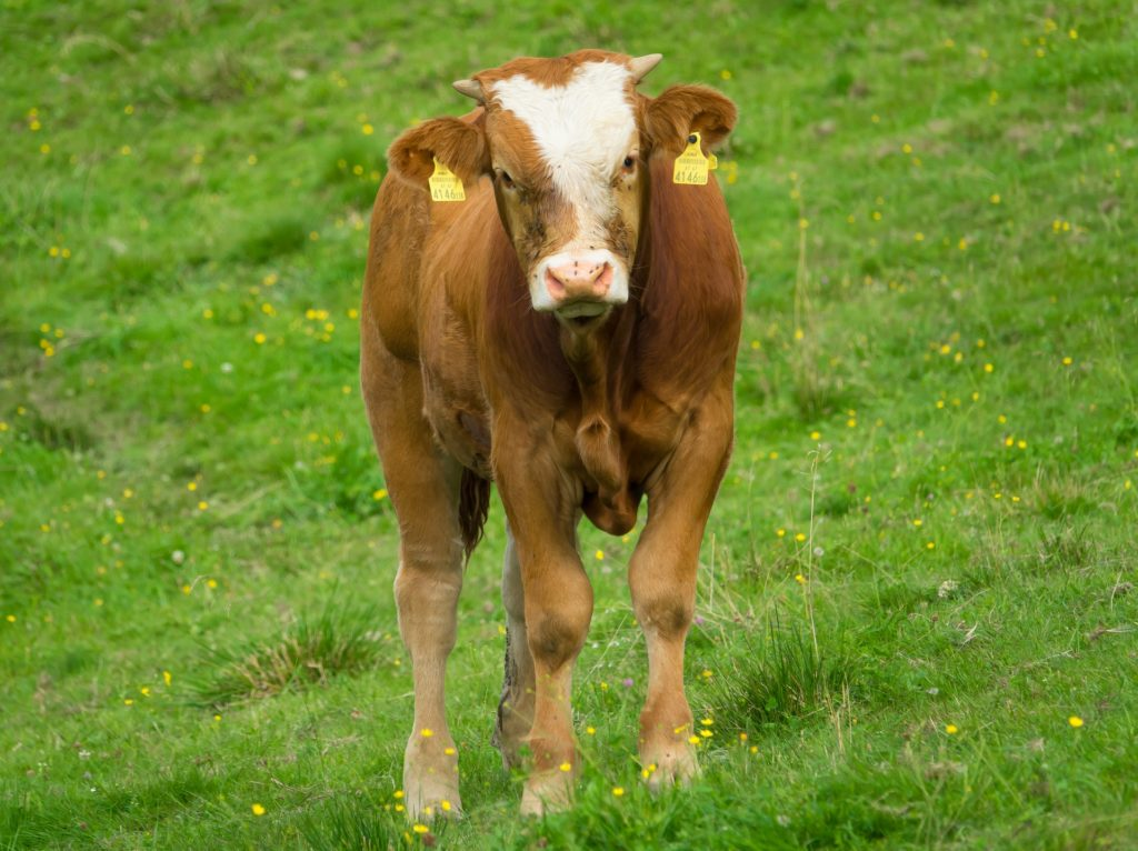 Brown and white calf
