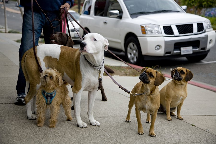 A set of dogs on a walk by a professional dog walker. The group consists of a Labrador American Bulldog Brussels Gryphon and a pair of Puggles.