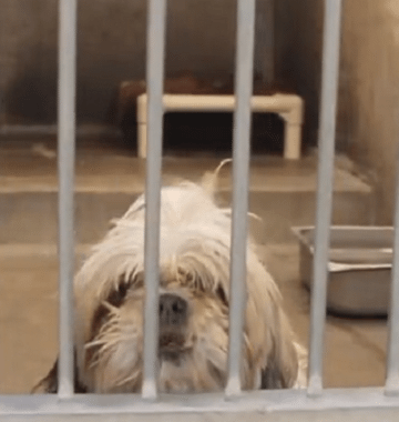 homeless shih tzu