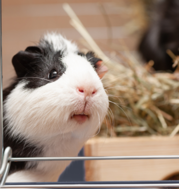 Guinea pig looks out from its cage.