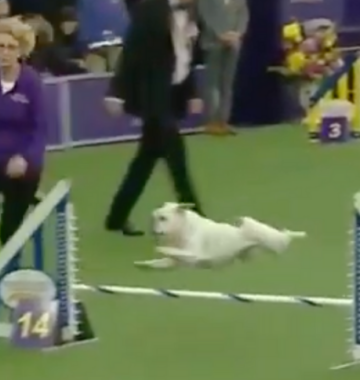 Westminster Kennel Club Dog Show Rudy
