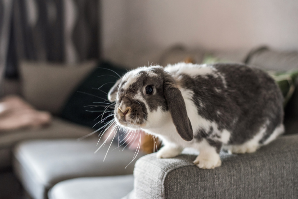 Free-roam bunny sits on couch.