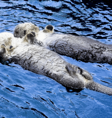 Otters hold hands and float on their backs.