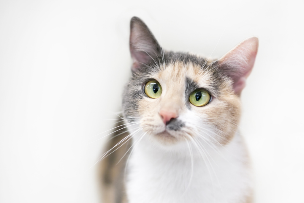 Dilute calico cat on a white background.