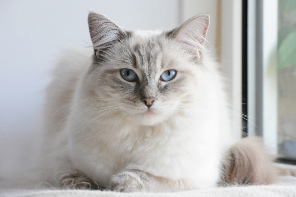 Hypoallergenic ragdoll cat sits by the window.