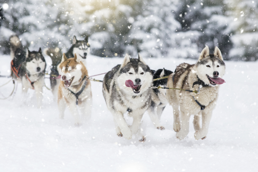 Bobsled pulled by Alaskan Malamutes and Siberian Huskies.